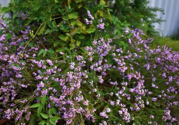 Colour your garden with natives - top 10 pink flowers