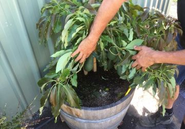 Size doesn't matter - Growing fruit trees in pots