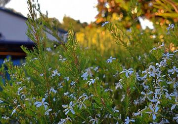 Colour your garden with natives - top 10 white flowers