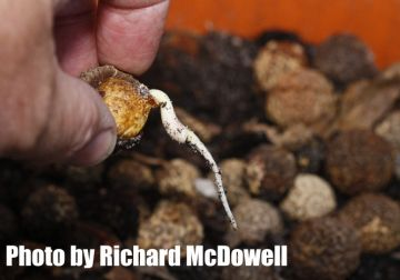 Quandongs - Cracking the code by Richard McDowell - The Native Gardener