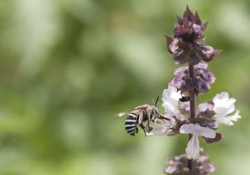 It's a natural spectacle - awakening of the humble native bee