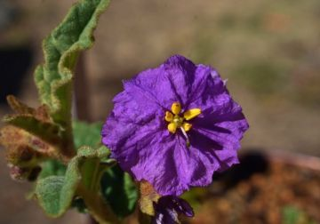 Colour your garden with natives - top 6 purple flowers